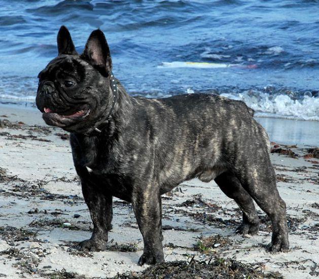 A 39 vigdors bravache french bulldog for Dietmar mieth
